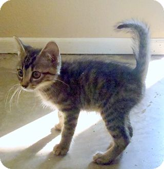 Domestic Shorthair Kitten for adoption in Gardner, Kansas - Kittens