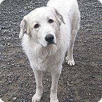 Adopt A Pet :: Abbie - Rigaud, QC