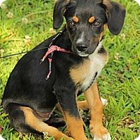 Adopt A Pet :: Celina - Brattleboro, VT