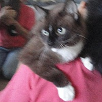 Snowshoe Cat for adoption in Midway City, California - Makoa
