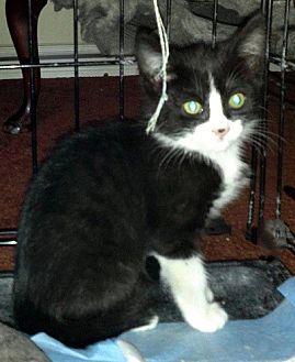 Domestic Shorthair Kitten for adoption in Woodland Hills, California - Easy