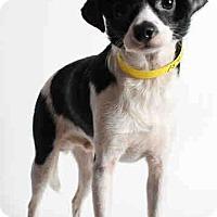 Adopt A Pet :: Ringo - Encino, CA
