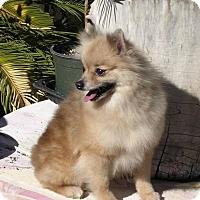 Adopt A Pet :: Tiki - Yucaipa, CA