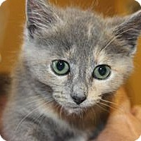 Calico Kitten for adoption in Louisville, Kentucky - Muffin