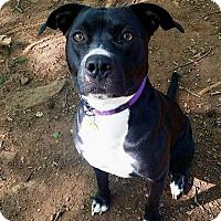Adopt A Pet :: Penny - Lawrenceville, GA