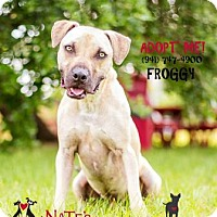 Black Mouth Cur Mix Dog for adoption in Bradenton, Florida - Froggy