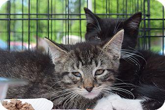 Domestic Shorthair Kitten for adoption in Washington, Pennsylvania - Connor