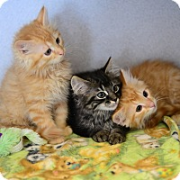 Adopt A Pet :: Kittens - Gardnerville, NV