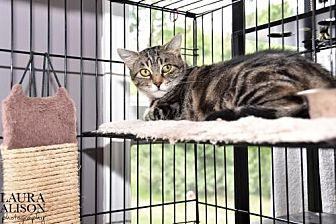 Domestic Shorthair Cat for adoption in Rockaway, New Jersey - Honey
