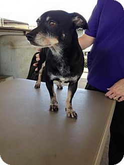 Chihuahua Dog for adoption in Lake Placid, Florida - Gracie