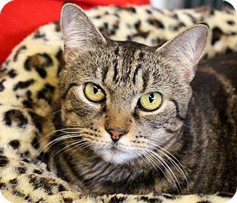 Domestic Shorthair Cat for adoption in Sarasota, Florida - Shumara