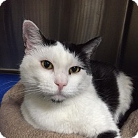 Domestic Shorthair Cat for adoption in Chico, California - CC