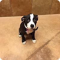 Adopt A Pet :: Patty - Philadelphia, PA