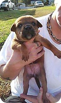 Boxer/German Shepherd Dog Mix Puppy for adoption in Chantilly, Virginia - Hazel Grace Pup 10