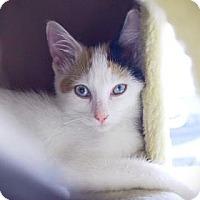 Adopt A Pet :: Nisha - Wichita, KS