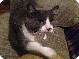 Domestic Shorthair Cat for adoption in Montreal, Quebec - Kicza