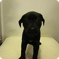 Adopt A Pet :: Baby Mercedes - Rockville, MD