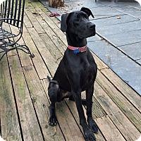 Adopt A Pet :: Bella - Manassas, VA
