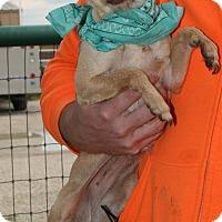 Adopt A Pet :: Stella - Pilot Point, TX