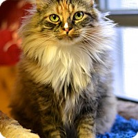 Domestic Longhair Cat for adoption in Waxhaw, North Carolina - Sun City Sista Kitty