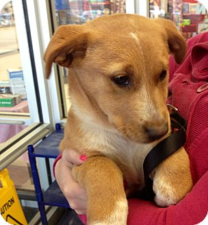 Corgi/Shepherd (Unknown Type) Mix Puppy for adoption in Millersville, Maryland - Sophie