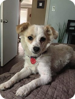 rat terrier poodle mix della adopted dog madison heights mi poodle 7710