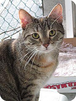 American Shorthair Cat for adoption in Plattekill, New York - Molly