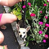 Adopt A Pet :: Precious - Shirley, NY