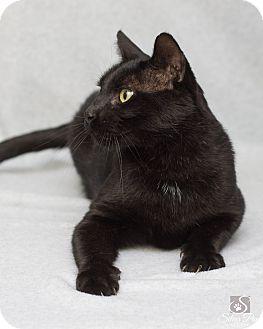 Domestic Shorthair Cat for adoption in Fort Collins, Colorado - Reggie