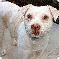 Adopt A Pet :: Shorty - Marina del Rey, CA