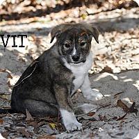 Adopt A Pet :: Divit - Weeki Wachee, FL