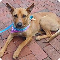Adopt A Pet :: Shiba - Rockville, MD