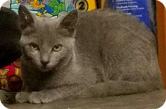 Chartreux Kitten for adoption in San Fernando Valley, California - Tuna