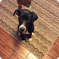 Adopt A Pet :: Daisy - Uxbridge, MA
