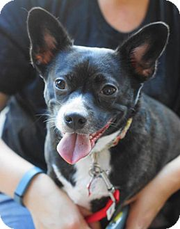 French Bulldog/Chihuahua Mix Dog for adoption in Holly Springs, North Carolina - Fifi