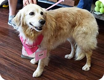 Golden Retriever Dog for adoption in Fort Worth, Texas - Rhea #0540