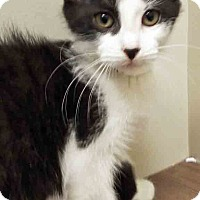 Domestic Shorthair Kitten for adoption in Channahon, Illinois - ADOPTED!!!   Matilda