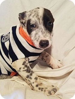 Australian Cattle Dog/Dalmatian Mix Puppy for adoption in Manchester, New Hampshire - Breezee