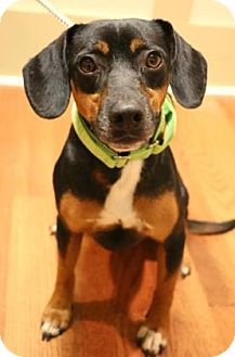 Dachshund Mix Dog for adoption in Chester Springs, Pennsylvania - Roger