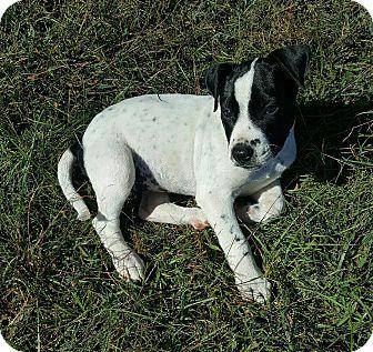 Pointer Mix Puppy for adoption in Cranston, Rhode Island - Daisy