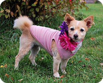 Pomeranian Dog for adoption in Minot, North Dakota - Peaches
