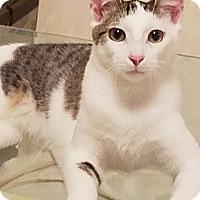 Calico Kitten for adoption in Jacksonville, Florida - Luke
