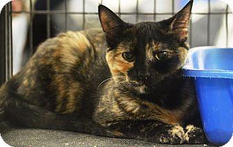 Domestic Shorthair Cat for adoption in Rockford, Illinois - Tori
