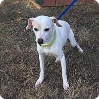 Adopt A Pet :: Presley - Windham, NH