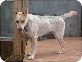 Australian Cattle Dog Dog for adoption in Anton, Texas - Mya