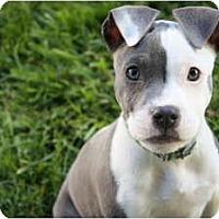 Adopt A Pet :: Harper - Reisterstown, MD