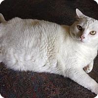 Domestic Shorthair Cat for adoption in Topeka, Kansas - Snowball