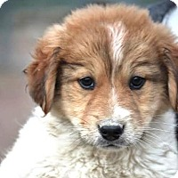Adopt A Pet :: *Kris - PENDING - Westport, CT
