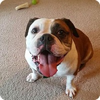 Houston Tx English Bulldog Meet Myrtle A Dog For Adoption