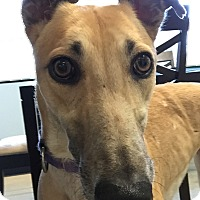 Greyhound Dog for adoption in Swanzey, New Hampshire - Hannah